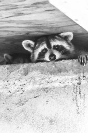 Baby raccoon ventures from nest: mopther comes to the rescue!