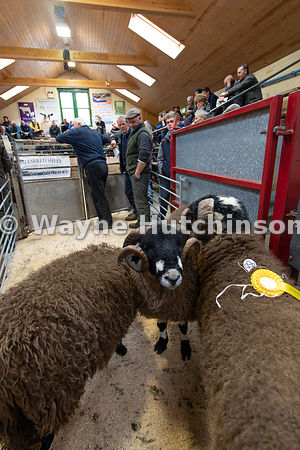 Selling Dalesbred rams at the annual autumn sale held at Bentham Auction Mart in North Yorkshire, UK