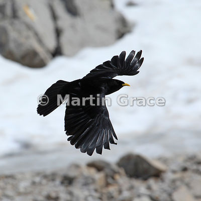 Cropped version of the previous image of an Alpine or Yellow-Billed Chough (Pyrrhocorax graculus) in flight, Picos de Europa,...