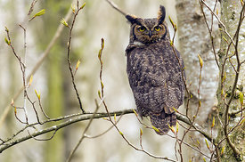 February - Great Horned Owl