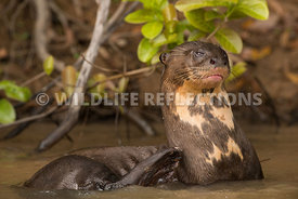 giant_otter_itching-5