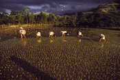 Paddy Workers
