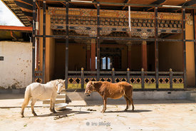 Horses at Gangteng Monastery, generally known as Gangtey Gonpa or Gangtey Monastery in the Wangdue Phodrang District in centr...