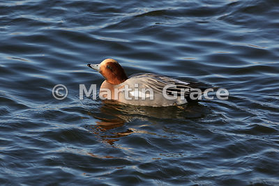 Male Eurasian Wigeon (Anas penelope) in late afternoon winter sunlight, Dumfries & Galloway, Scotland