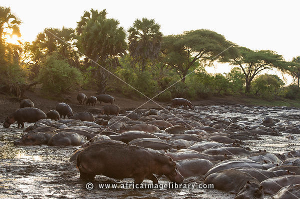 Hippos in Katavi photos