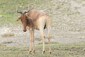 hartebeest_male_watching_closely