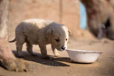 Street dog puppy in Pushkar, Rajasthan, India. Taken one day before the puppy perished from sickness.