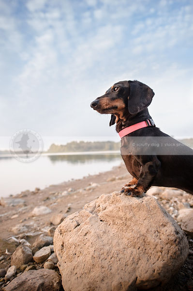 shorthaired dachshund perched on beach rock under blue sky