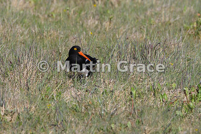 Magellanic Oystercatcher (Haematopus leucopodus), Torres del Paine National Park, Patagonia, Chile