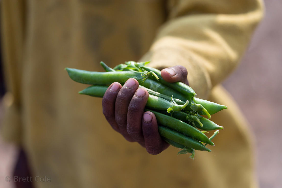 Mutter peas (Pisum sativum) in Kharekhari village, Pushkar, Rajasthan, India. Mutter is a major crop in the region, known for...