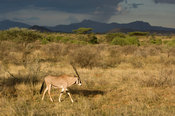 Beisa oryx ( Oryx gazella beisa), Samburu and Buffalo Springs National Reserve, Kenya