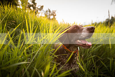 brown roan pointer dog hiding in natural grasses with sunflare