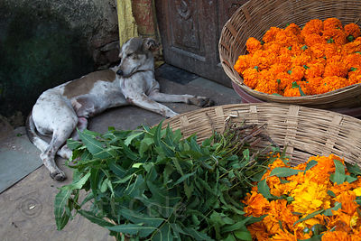 A stray dog sleeps next to baskets full of vegetables a market in Dharavi, Mumbai, India.