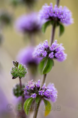 Pennyroyal (Mentha pulegium), Gold Beach, Prairie Creek Redwoods, California