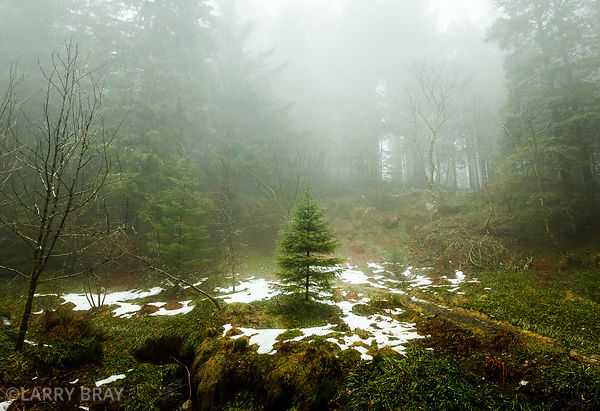 Lone young spruce tree in woods in Bergen, Norway