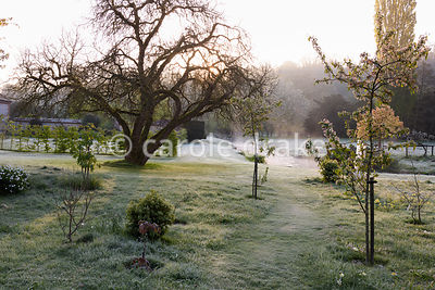 Bare form of a spreading mulberry tree near the River Avon at Heale House, Middle Woodford, Wiltshire