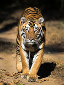 The great Bengal Tiger