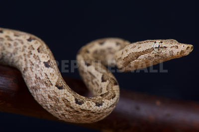 Pacific ground boa / Candoia carinata paulsoni