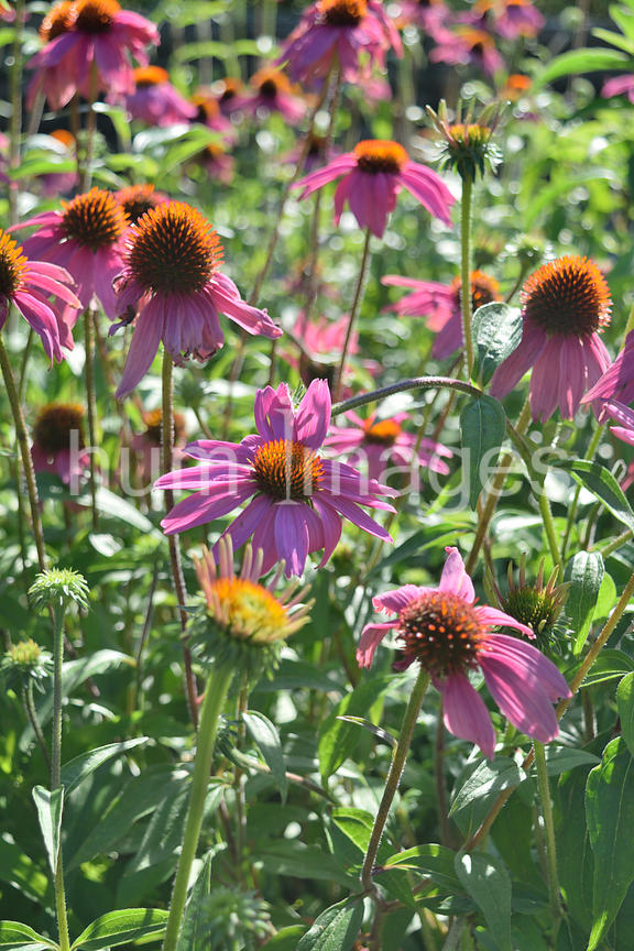Nature Stock Photos: Purple Coneflowers