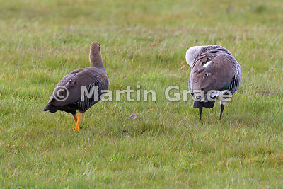 Pair of Upland Geese (Chloephaga picta), Torres del Paine National Park