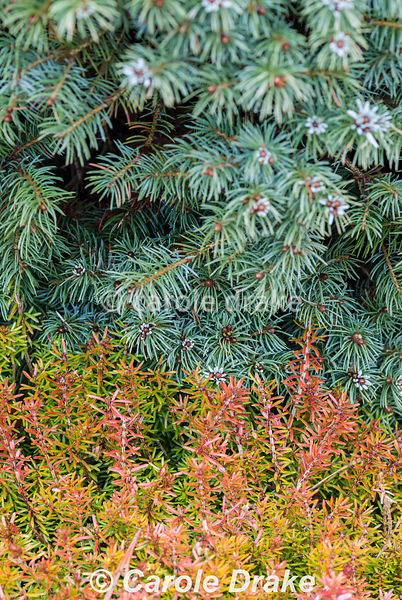 Picea glauca Alberta Blue = 'Haal' with Erica carnea 'Ann Sparkes' AGM. The Sir Harold Hillier Gardens/Hampshire County Counc...