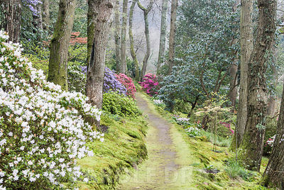 Woodland walk below mature oaks, carpeted with emerald moss, framed by young acers and evergreen Kurume azaleas including for...