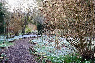 A path through naturalised Crocus tommasinianus at The Down House, Hampshire in winter