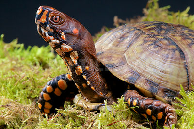 Common box turtle (Terrapene carolina)