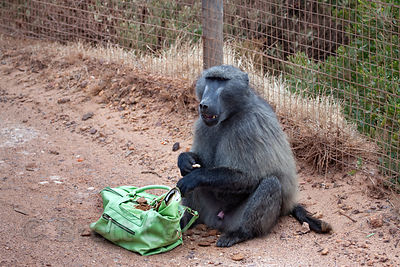 Chacma baboons from the Smitswinkel troop eat food they raided from a tourist's car, near Castle Rock Sanctuary, Cape Peninsu...