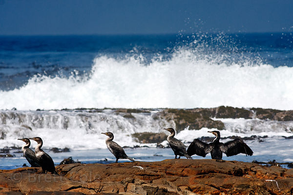 Cape cormorants (Phalacrocorax capensis) on the tidepools at Gifkommetjie, Cape Peninsula, South Africa