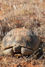 tortoise_peeking_out_vertical