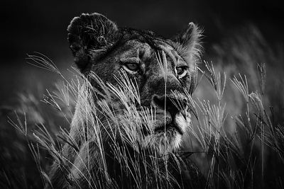 00439-Lioness_behind_the_long_grass_Tanzania_2018_Laurent_Baheux