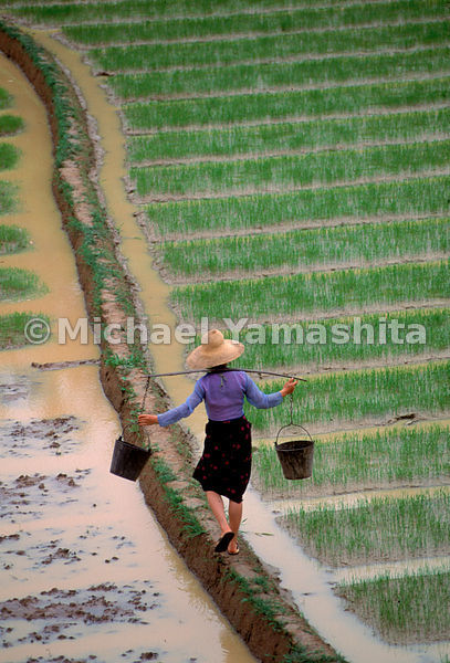Balancing buckets of fertilizer, a woman works in the rice paddies of Xishuangbanna, home of the Dai tribe. Yunnan, China.