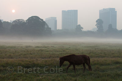 Ahorse grazes on a foggy morning on the Maidan, a large park in central Kolkata, India.