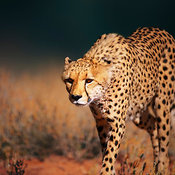 Cheetah walking in kalahari desert