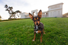 Miniature Pinscher Mix with Big Ears sticking tio of tongue out at Palace of Legion of Honor