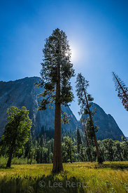 Jeffrey Pines in Yosemite Valley in Yosemite National Park