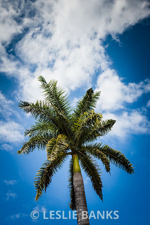 Palm Tree in Jamaica
