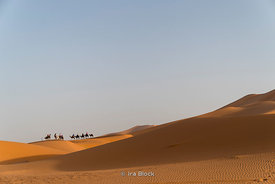 Camels in the Erg Chebbi Sand dunes of the Sahara Desert in Morocco