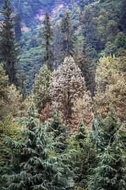 Native forest in the Himalayas near Rahala waterfalls, Manali, India