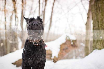 humorous stock image of giant black schnauzer barking at camera in winter