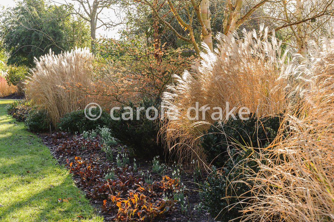 Light catches fluffy miscanthus flowerheads and bergenia leaves. Sir Harold Hillier Gardens, Ampfield, Romsey, Hants, UK