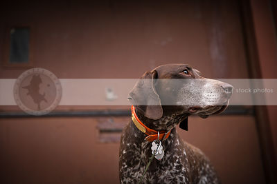brown german shorthaired pointer dog at urban steel door