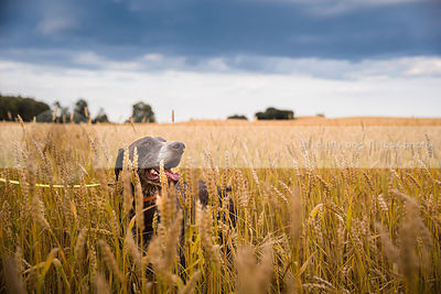 brown pointer dog buried in deep wheat field under stormy sky