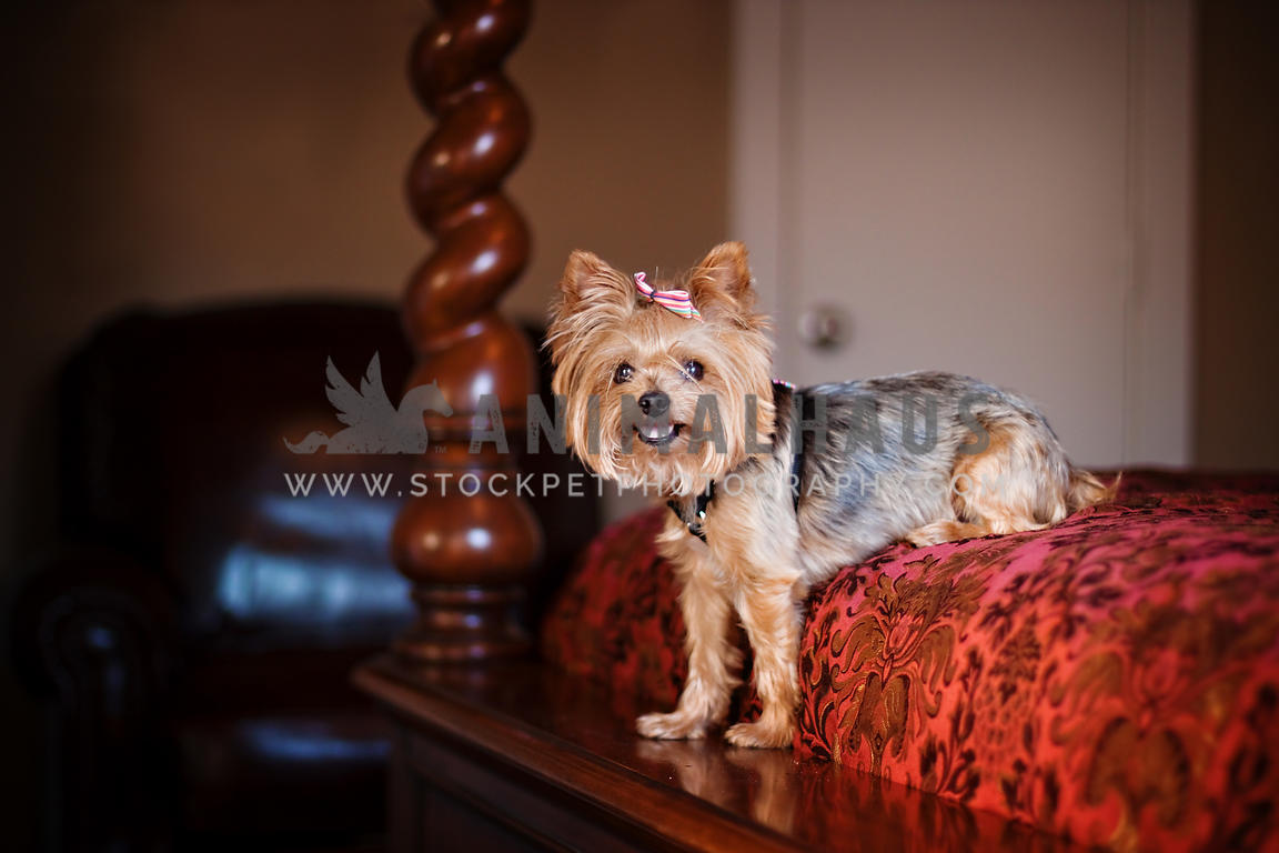 Animalhaus Media Yorkie Sits On Edge Of Four Poster Bed