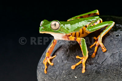 Orange legged leaf frog  (Phyllomedusa hypochondrialis)