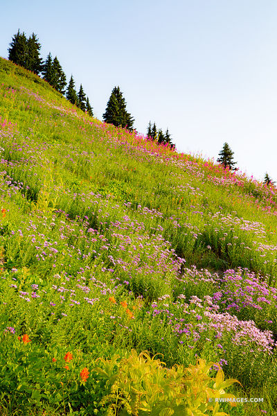 ALPINE SUMMER WILDFLOWERS MOUNT RAINIER NATIONAL PARK WASHINGTON STATE
