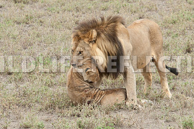 lion_carrying_dead_cub_14