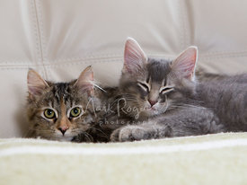 Maine Coon Kittens Resting on Top of Each other on Chair