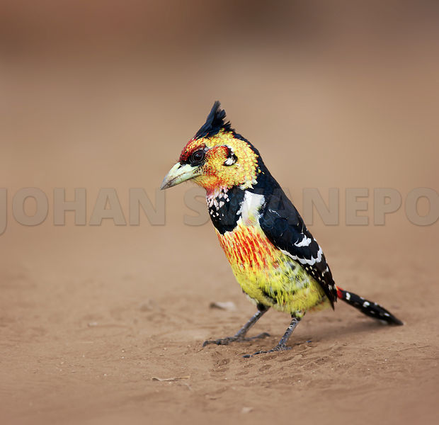 Crested barbet (Trachyphonus vaillantii) perched on ground